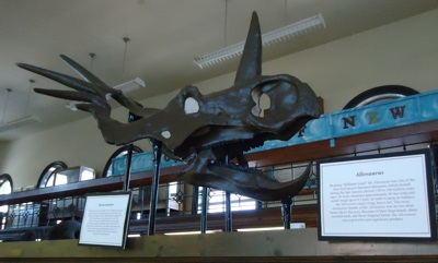 Model of the head of a Styracosaurus on display at the Geology museum at Rutgers University